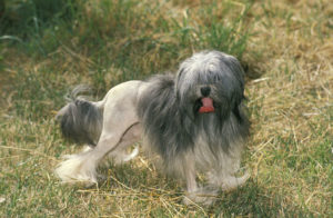 Löwchens are one of the most expensive dog breeds due to their rarity