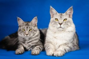Most long-haired cats are often mistaken for Maine Coons