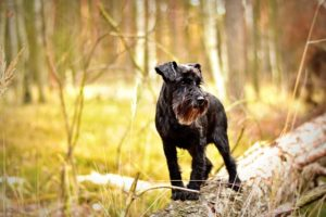 Minature Schnauzers are one of the smartest dog breeds as well as an intelligence hunting dog