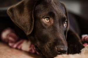 Labs top the most popular dog breed list - and have for 27 years!