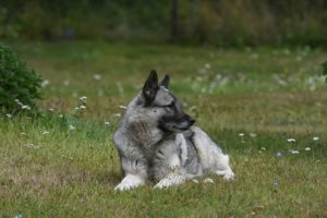 Norwegian Elkhound continue to be popular large game hunting breeds