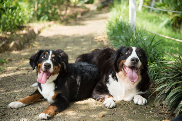 Bernese Mountain Dogs have a long history as working dogs