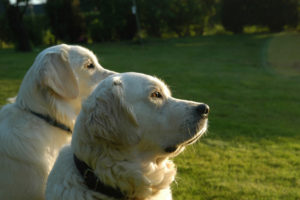 With sweet natures and intelligence, people adore Golden Retrievers