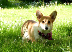 Pembroke Welsh Corgis moved into the top ten of the most popular dog breeds for the first time