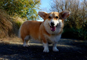 Pembroke Welsh Corgis worked as bull dogs, and they still have that plucky attitude