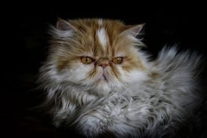 With their flat faces, Persians have special health concerns