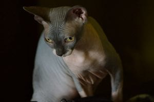 Similar to the Sphynx, Peterbalds are one of the hairless cat breeds