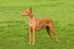 Pharaoh Hounds require owners who understand their high stress risks