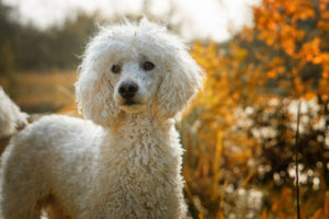 Poodles have always been known as one of the smartest dog breeds