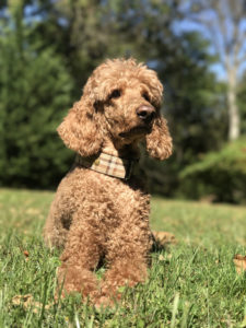 Whether miniature, standard, or toy, Poodles remain popular dog choices