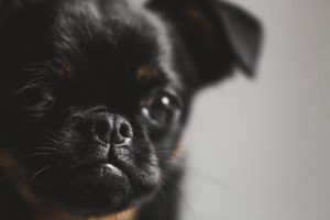Puppy mills continue to thrive due to designer breeds