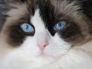 Ragdolls have a sweet temperament, making them one of the most popular expensive cat breeds