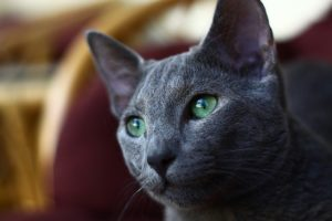 Most grey cats are confused for Russian Blues