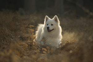 Samoyeds are at the top of the most expensive dog breed list