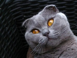 Scottish Folds are one of the most expensive cat breeds due to the rarity of the genetic mutation