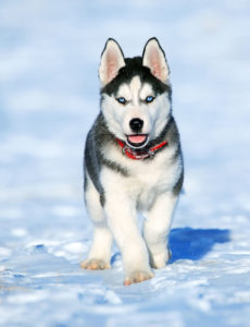 Siberian Huskies rank as 15th in the most popular dog breeds