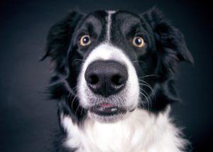 Among the smartest dog breeds, Border Collies reign supreme