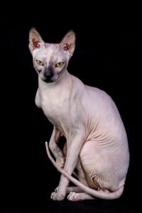 Sphynx require special care, driving up their purchase price