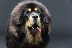The most expensive dog ever sold was a Tibetan Mastiff