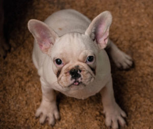 French Bulldogs are one of the most popular dog breeds with everyone