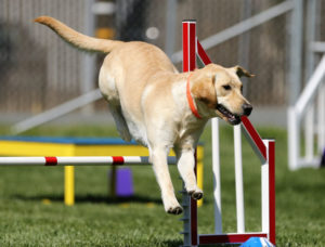Labardor Retrievers won't surprise anyone as one of the smartest dog breeds