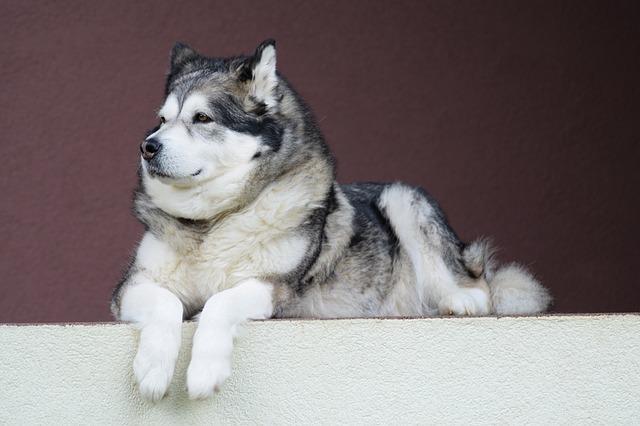 The Alaskan Malamute is bigger than its Siberian cousin