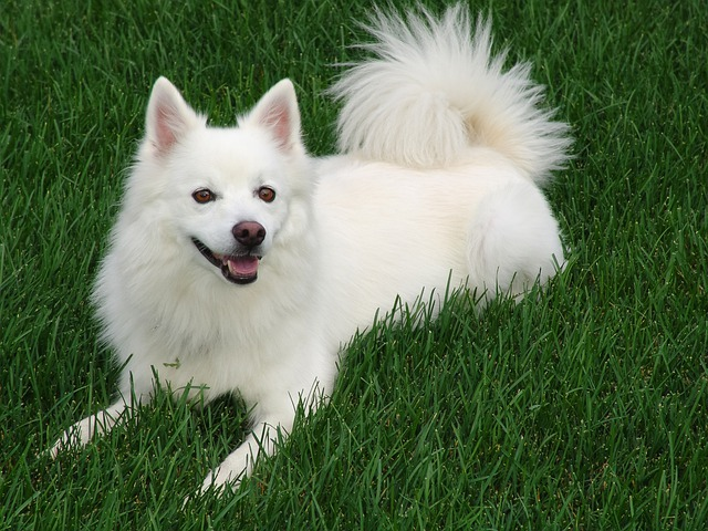 American Eskimo Dogs are known for their white, fluffy coats
