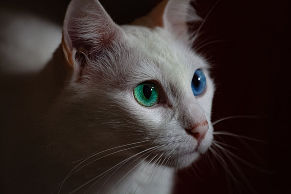 Cats with one blue eyes may end up deaf