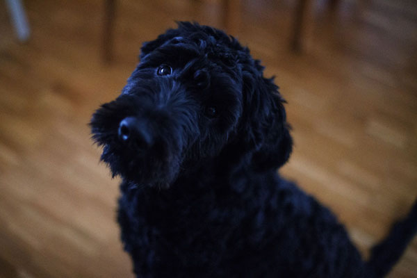The black eyes and nose often make photographing black dogs difficult