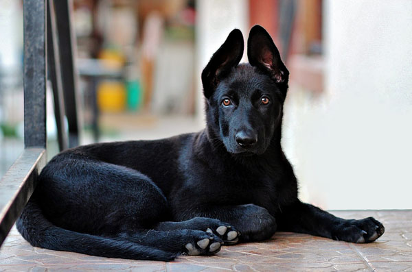 Black dogs have appeared as both good and bad luck symbols