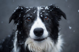 The Border Collie lifespan falls into the average range, but they have health concerns