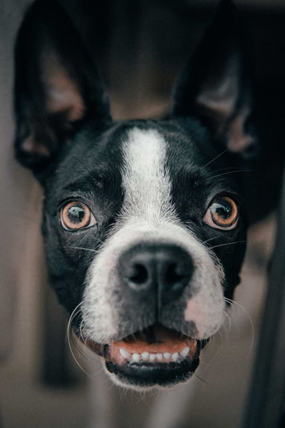 Dog teeth require frequent check-ups at the vet