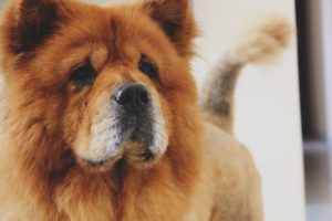 Chow Chows are a recognizable fluffy dog breed