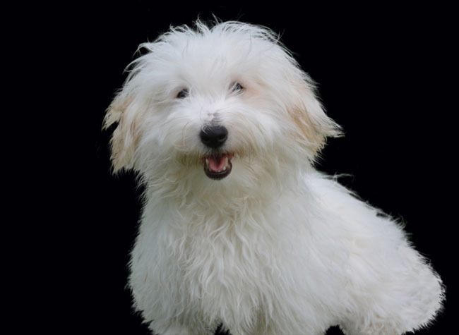 """Coton de Tulear are definitely fluffy dog breeds - their name even means """"cotton"""""""