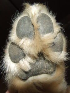 Dog paw balms help prevent drying and cracking