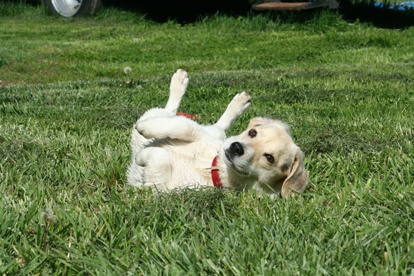 Dogs rolling in poop baffles even biologists
