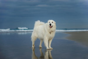Great Pyrenees are majestic fluffy dog breeds