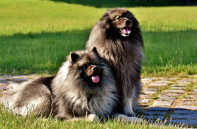 Keeshonden are highly social fluffy dog breeds, which means twice as much fur