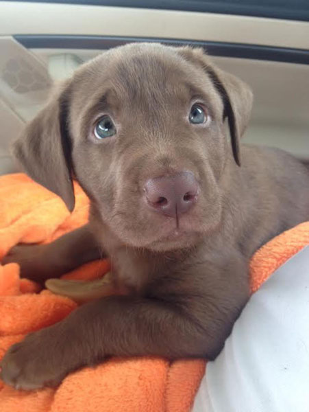 When preparing for a puppy, consider bringing a blanket to transfer the litter's scent