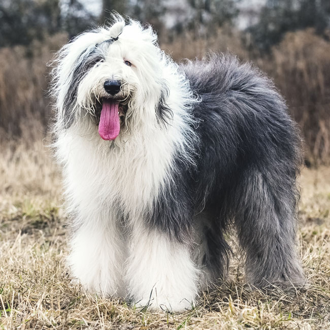 Old English Sheepdogs worked with all of their hair in the herds