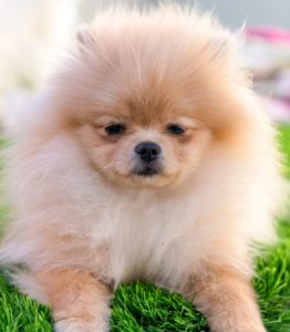 Pomeranians always make people think of teddy bears