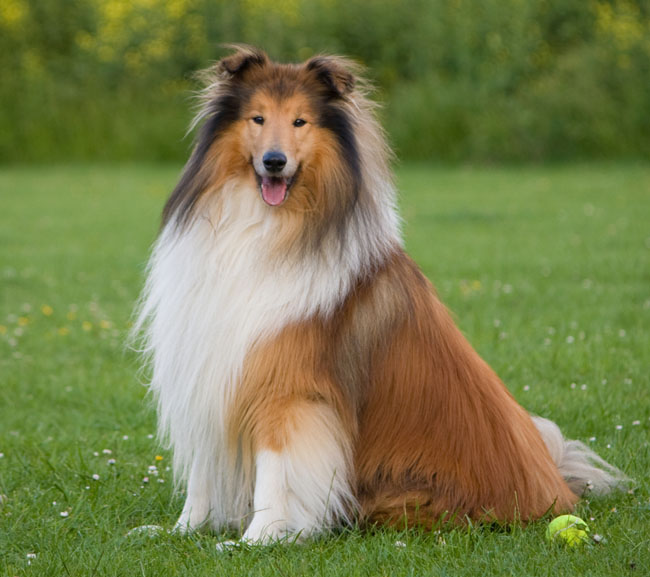 The Rough Collie has the longest hair of the Collie breeds