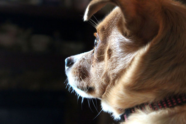 Dog whiskers help them navigate around the house