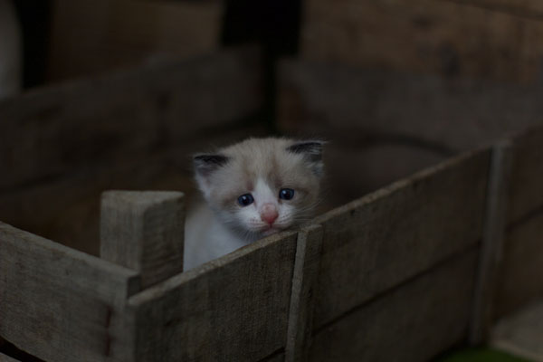 Kittens need proper socialization to prevent stress when they're adults