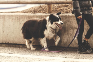 Leash training is an important step in a dog's life