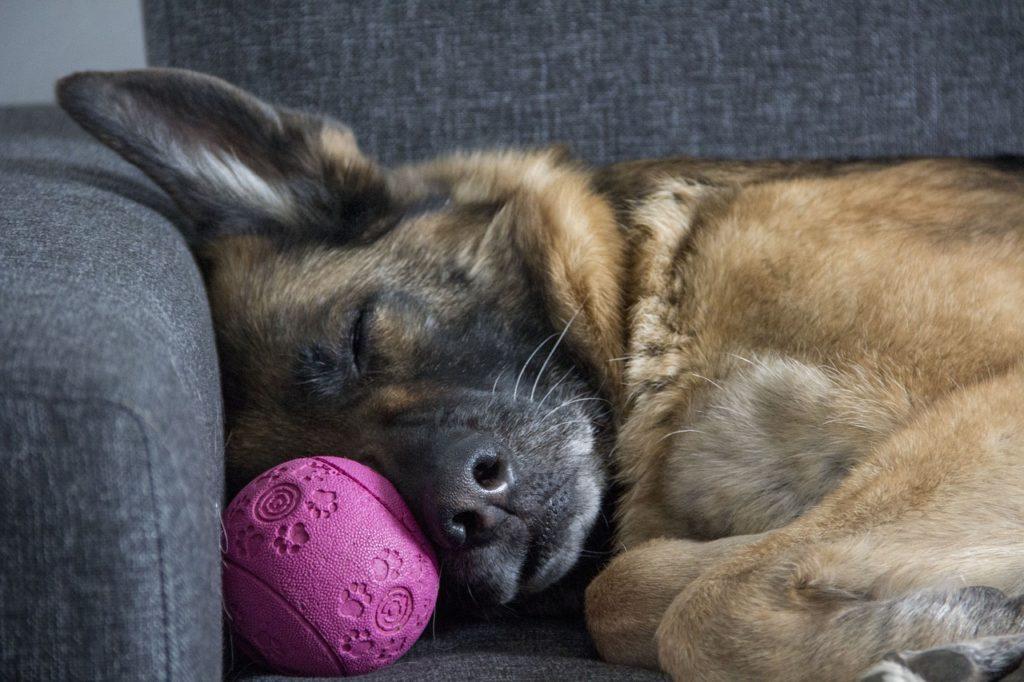 Working dogs often develop a human sleeping pattern