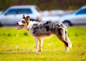 Australian Shepherds actually came from regions between the Pyrenees Mountains