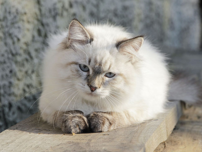 Birmans are sweet, pointed long-haired cat breeds