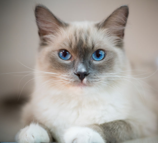 Birmans look regal but are sweet as can be
