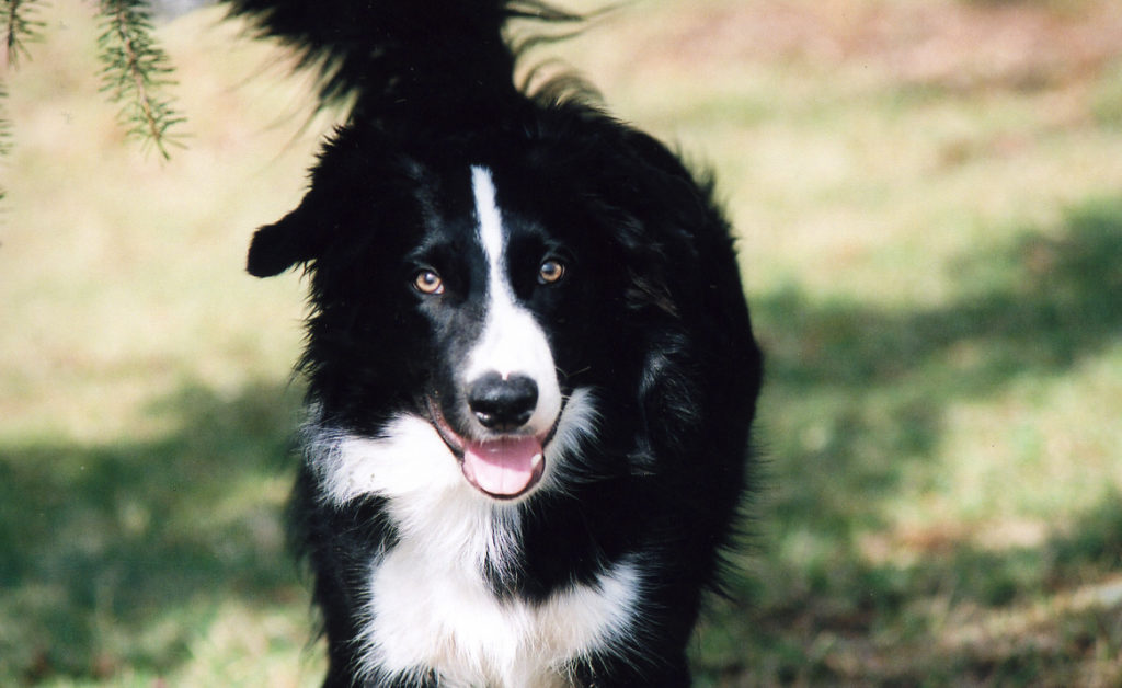 Border collies are one of the most popular herding dog breeds
